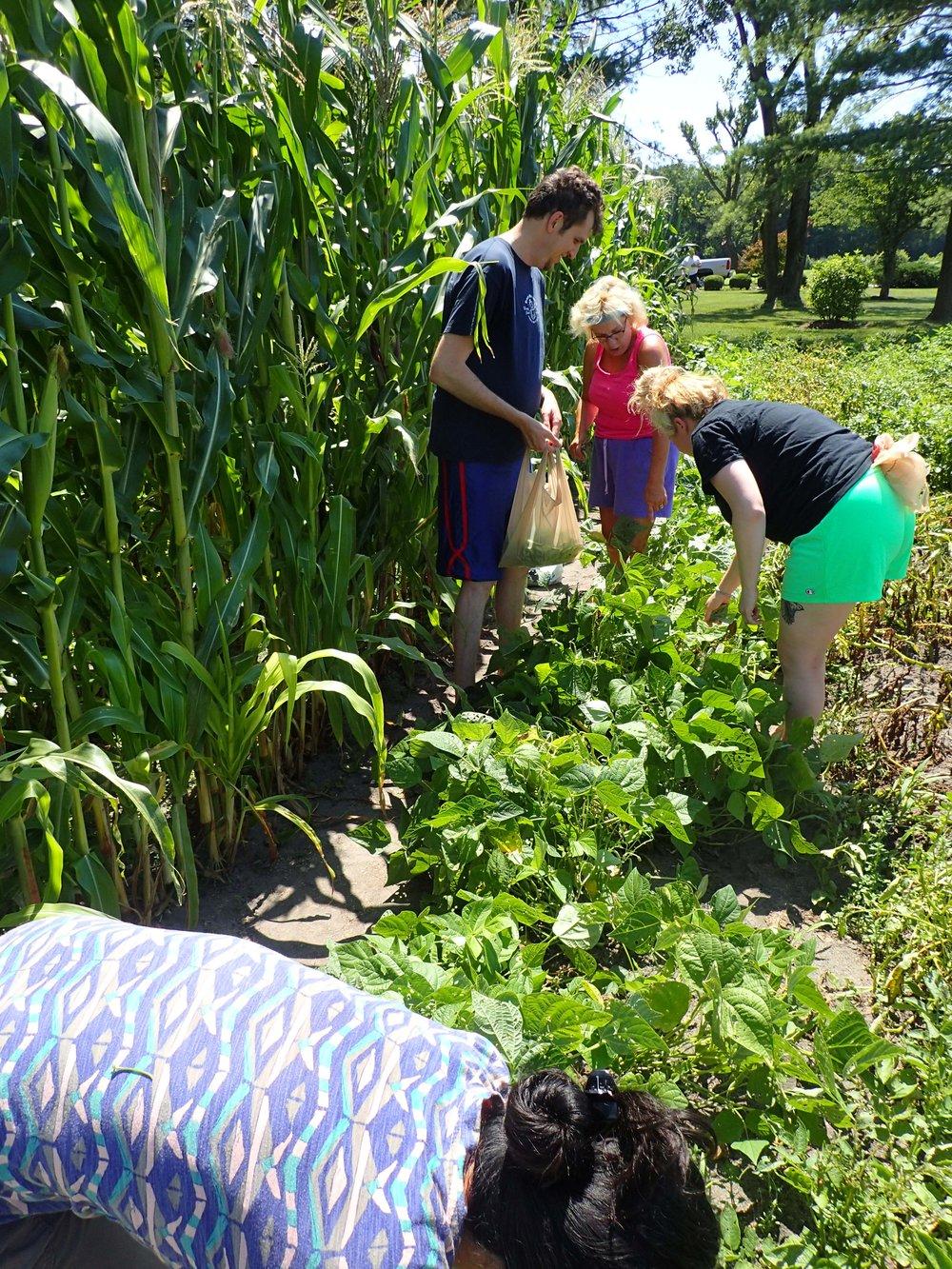 picking beans.jpg