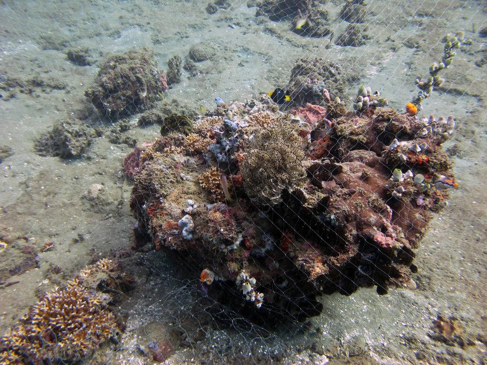 coral entangled in net.jpg