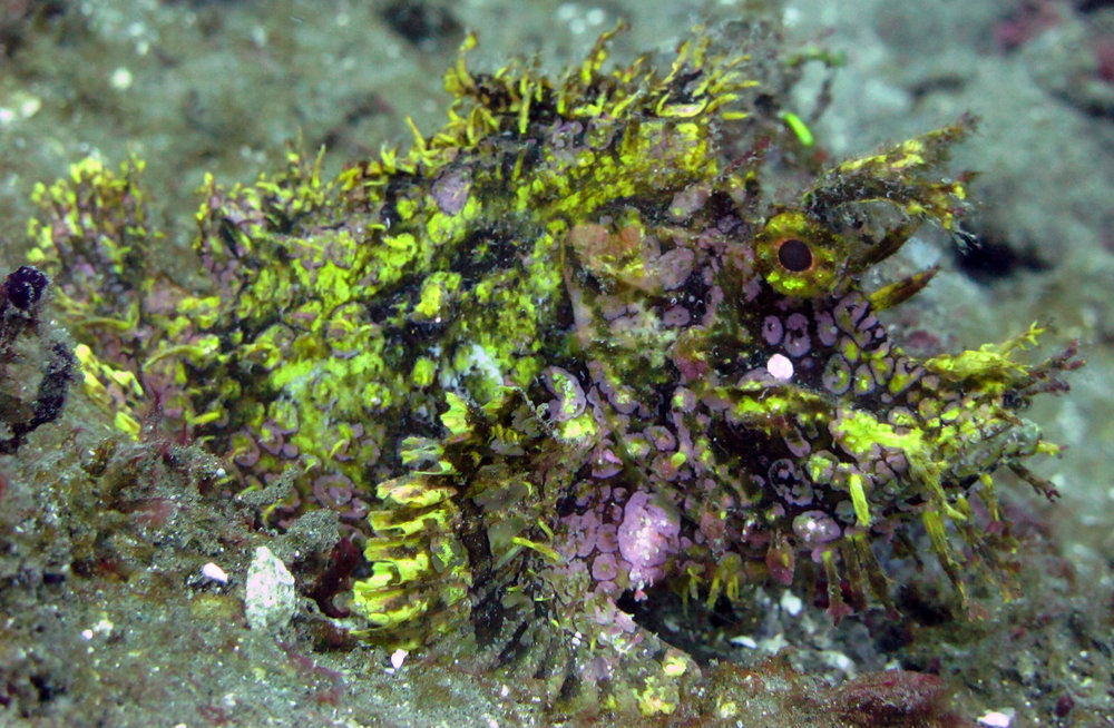 awesome scorpionfish.jpg