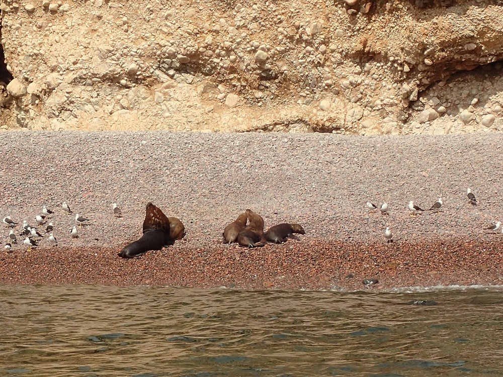 decent zoom shot of beached sea lions.jpg