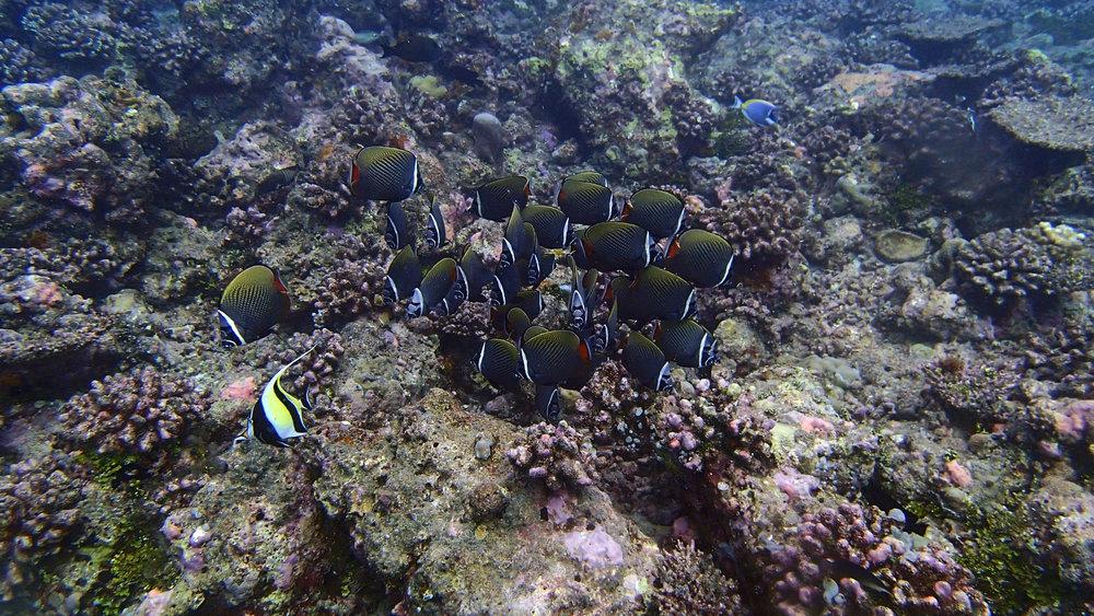 butterflyfish orgy.jpg