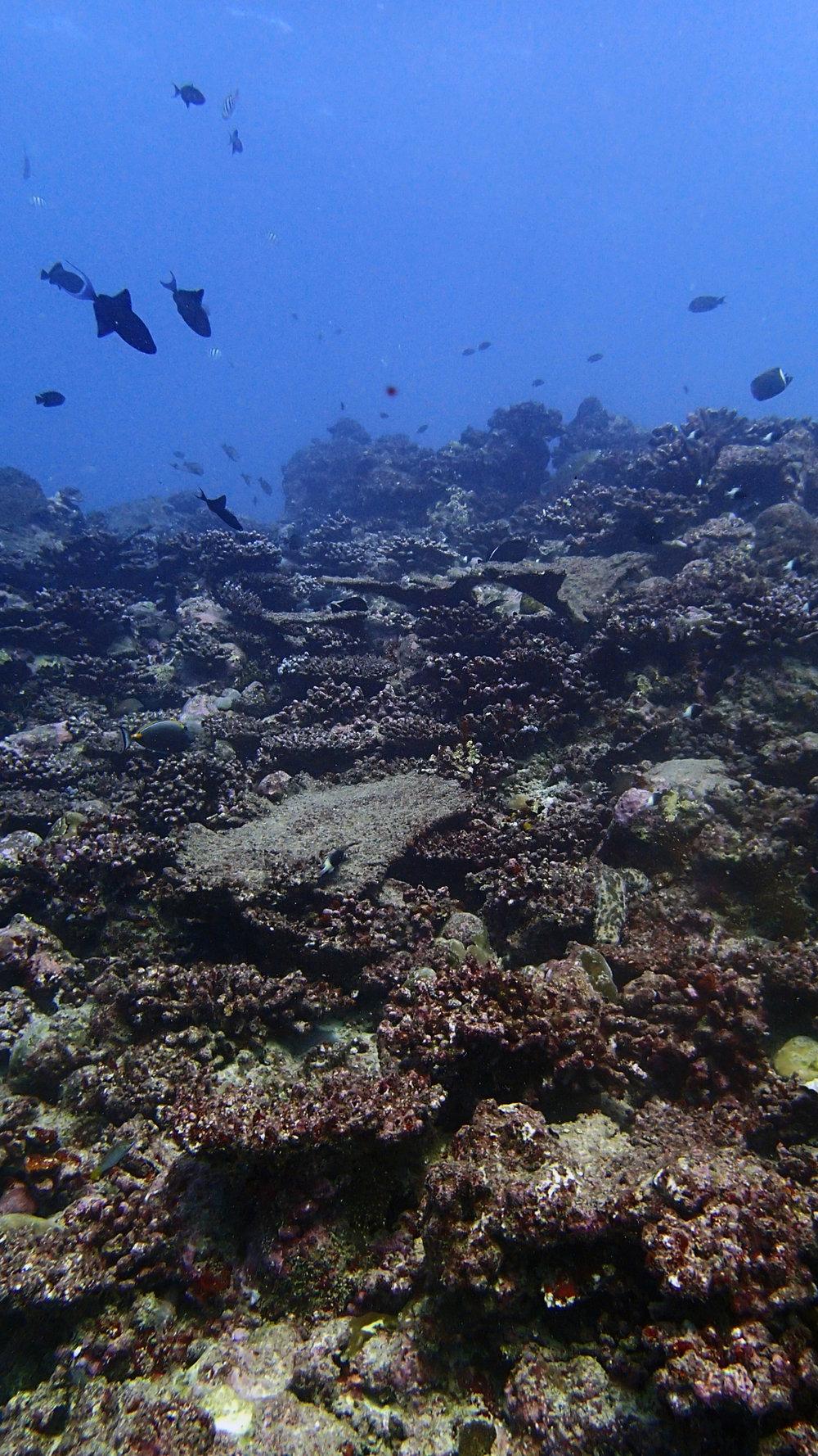 COTS-eaten reef.jpg