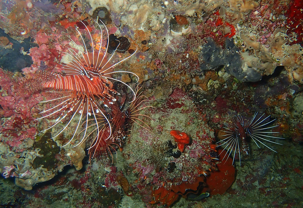 lionfish in cave.jpg