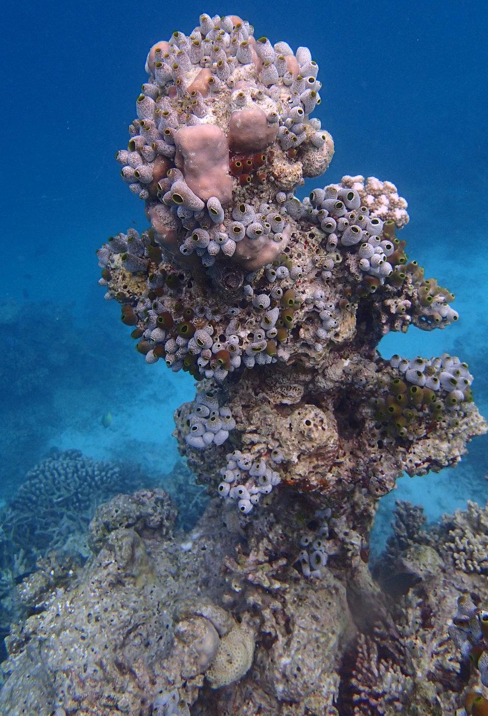 urn tunicate madness.jpg