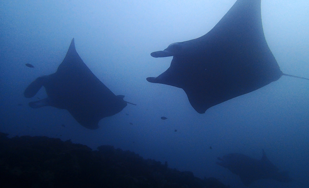 3 mantas at cleaning station.jpg