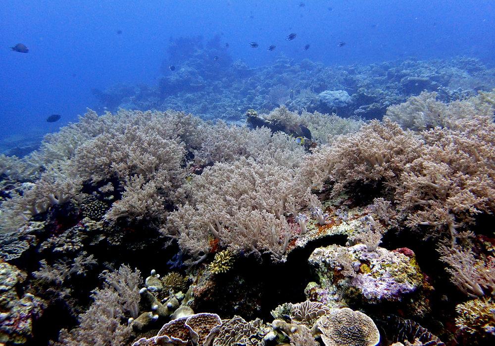 soft corals.jpg