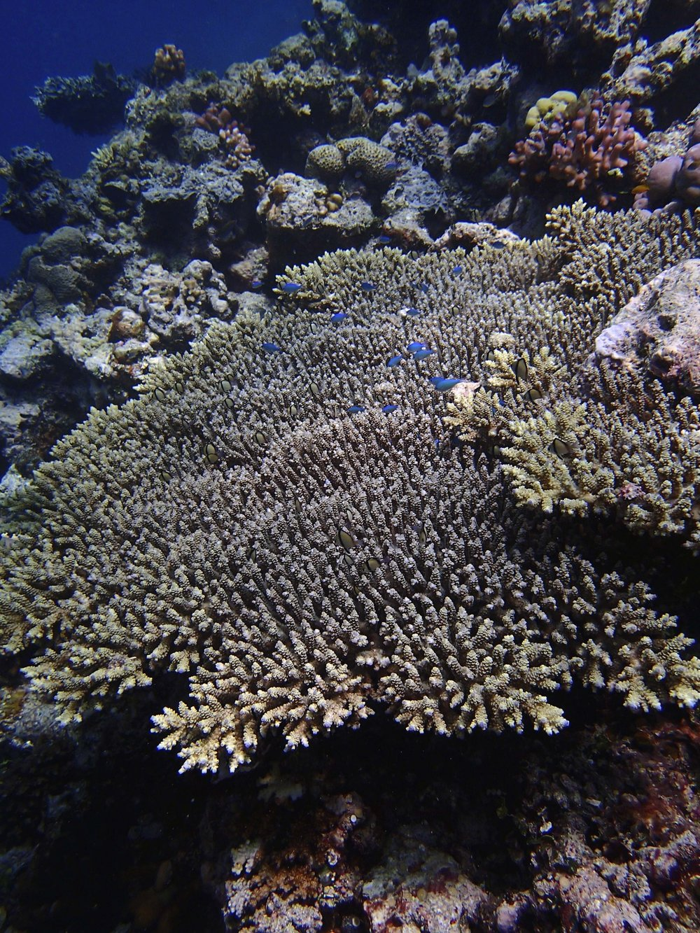 acropora at Malakobi.jpg