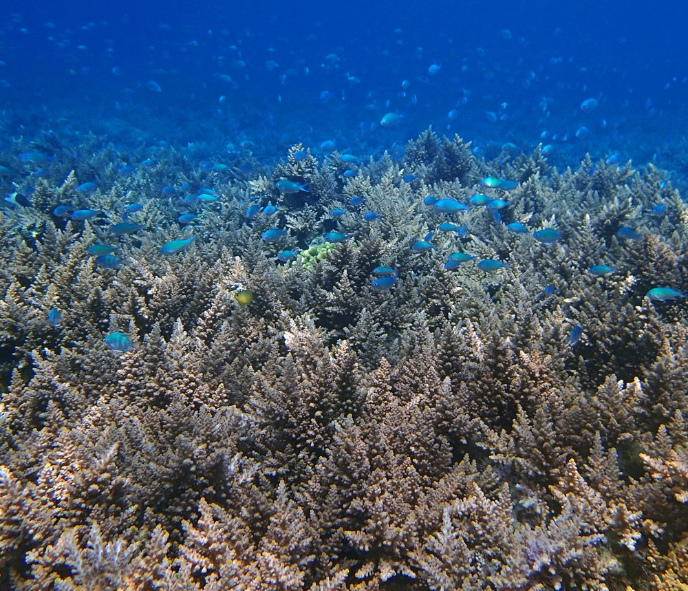 A monospecific assemblage of  Acropora  sp. at  Dongsha Atoll . For more information on research on coral bleaching being undertaken at Dongsha Atoll, check out this  link .