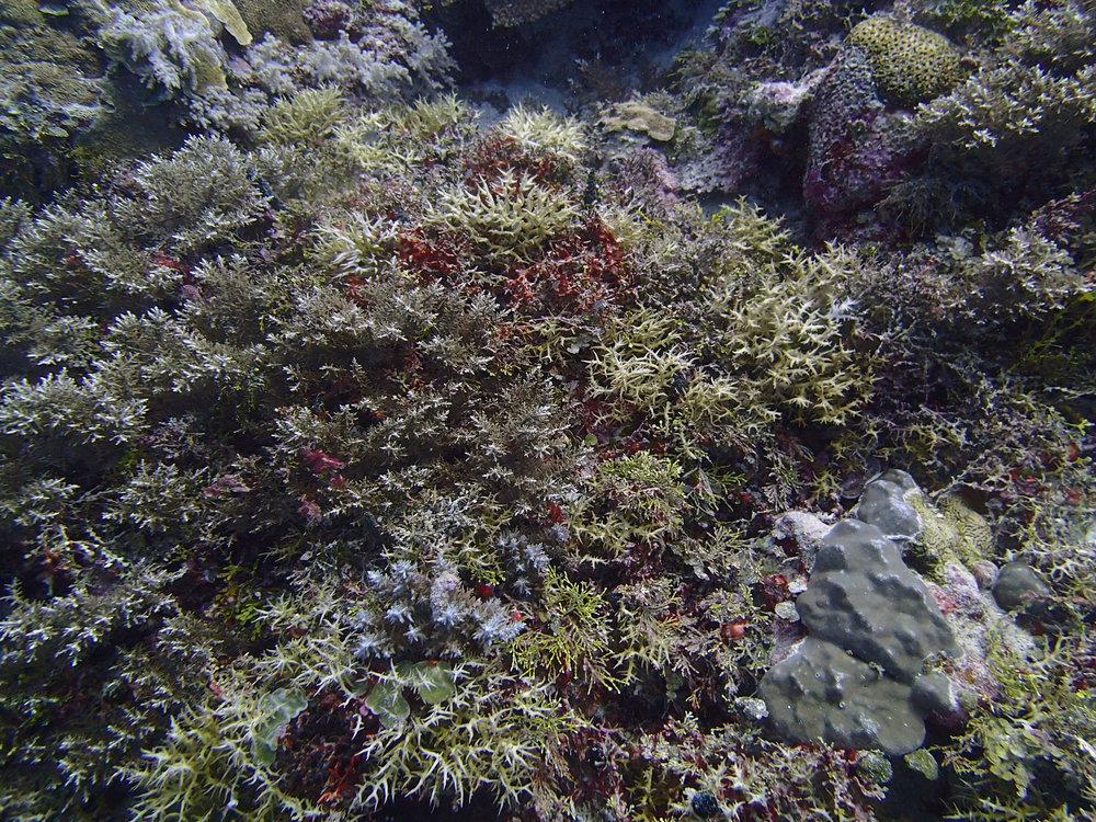 brittle corals.jpg