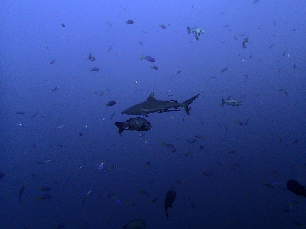 shark at blue corner 3.jpg