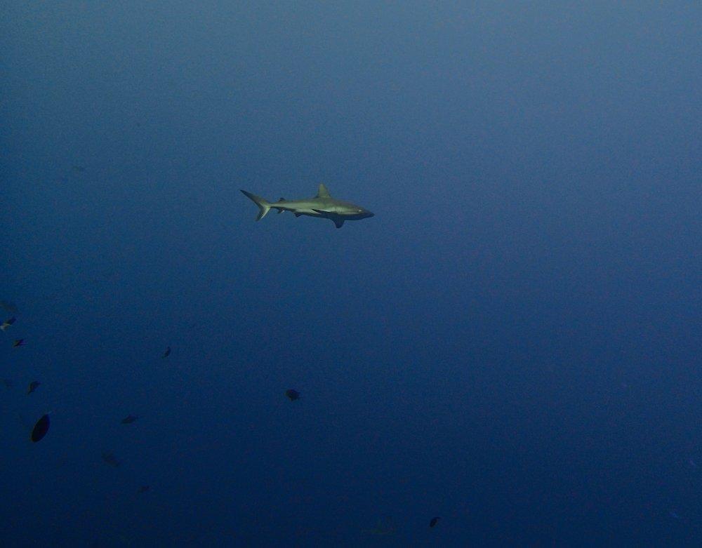 shark at blue corner.jpg
