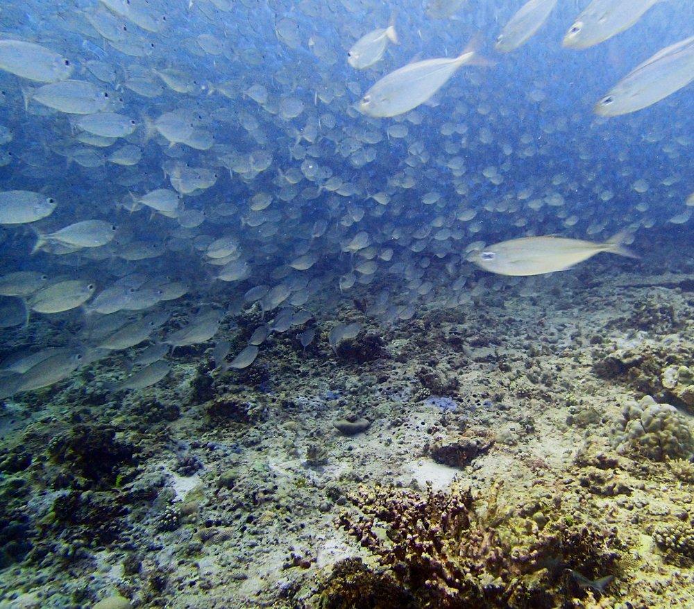 herring?.jpg