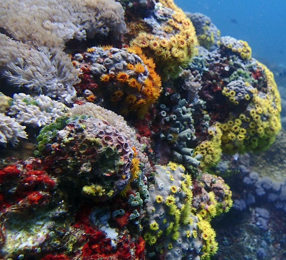 corals of Anilao.jpg