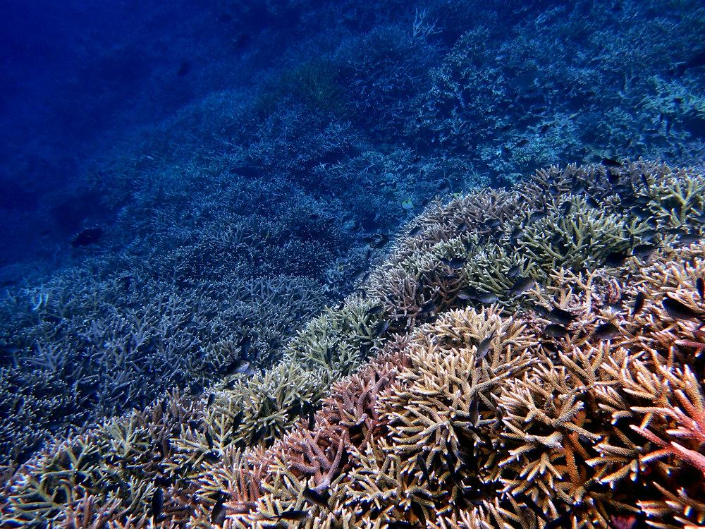 Banda Islands-100% Acropora spp. cover