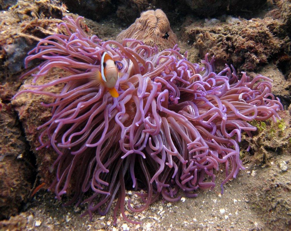 angry clownfish.jpg