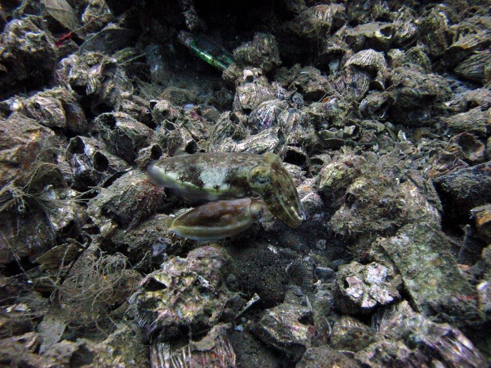camo cuttlefish.jpg
