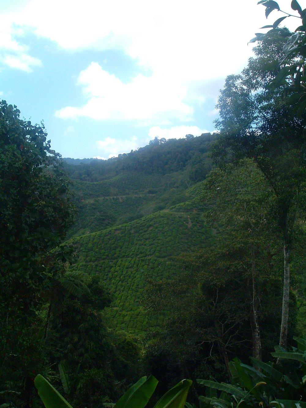 tea plantation in malaysia.JPG