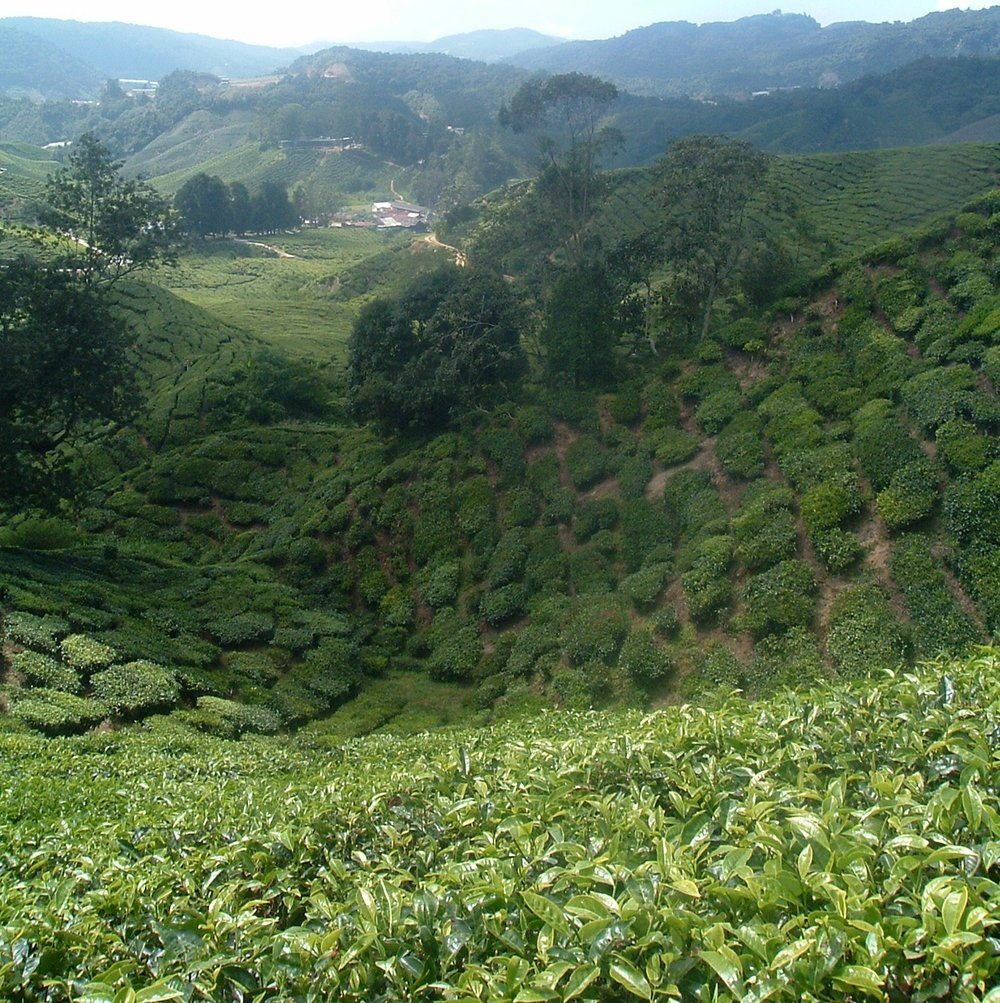 malaysian tea plantation.JPG