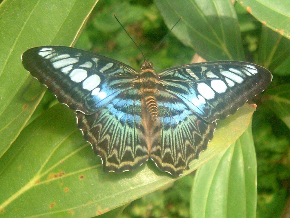 malay butterfly.JPG