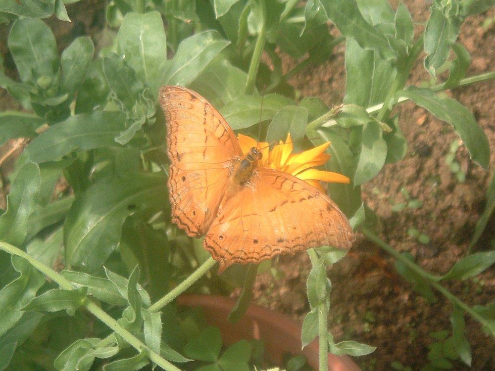 malaysian butterfly.JPG