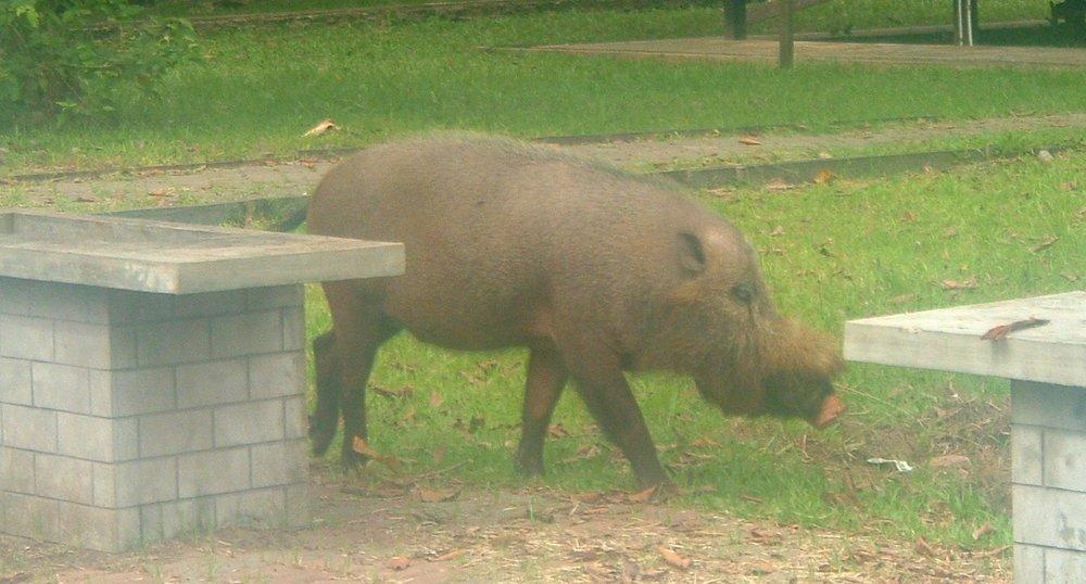 bako boar.JPG