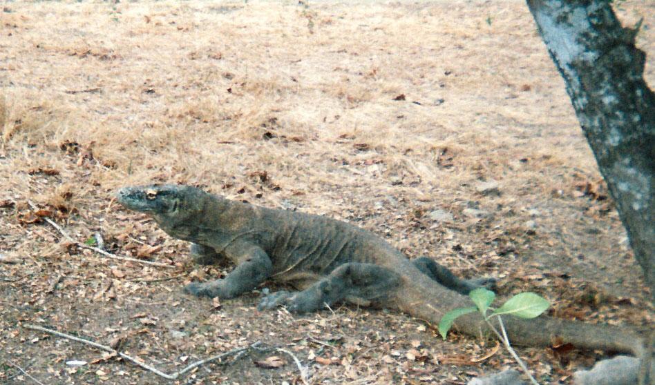 Komodo dragon.jpg