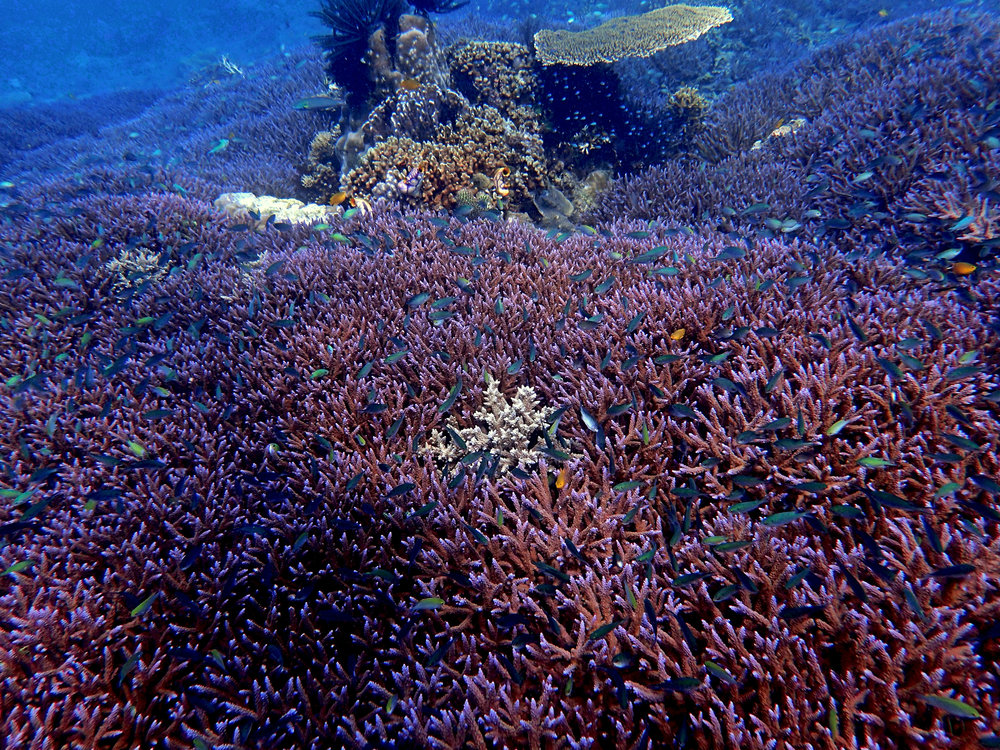 purple acroporids Spermonde-Sulawesi.jpg