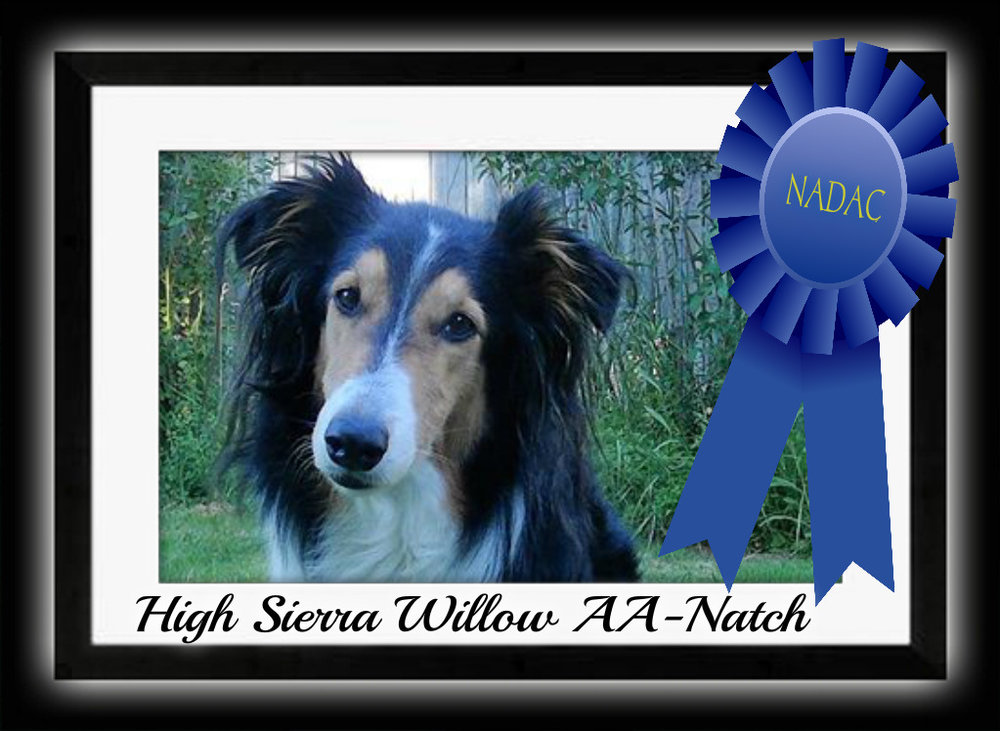 WILLOW - How exciting to announce that our own Willow, owned by Lynne Almeida has broken the glass ceiling as the first collie to earn her AA-Natch with the North America Dog Agility Club (NADAC). Congrats you two and what an honor to have Willow as an ambassodor of the Scottish Collie Breed!