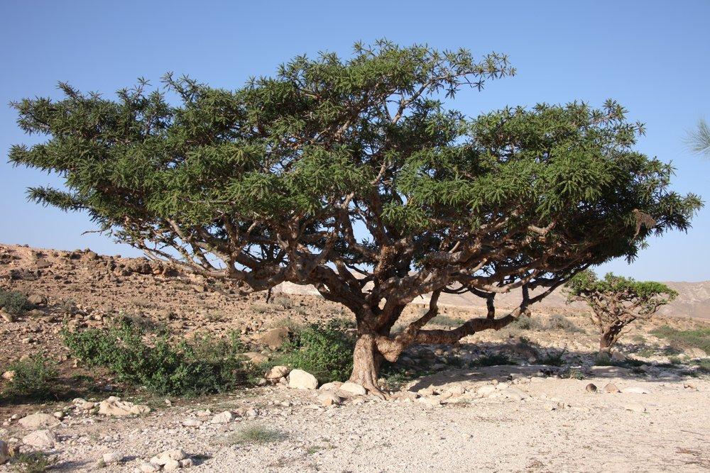 boswellia tree.jpg