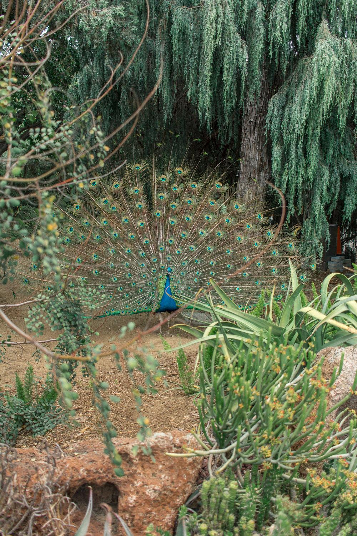 la arboretum peacock  2