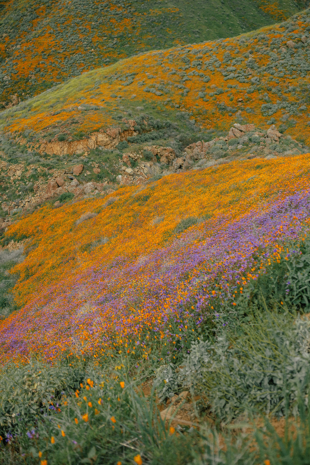 poppy fields california superbloom 4