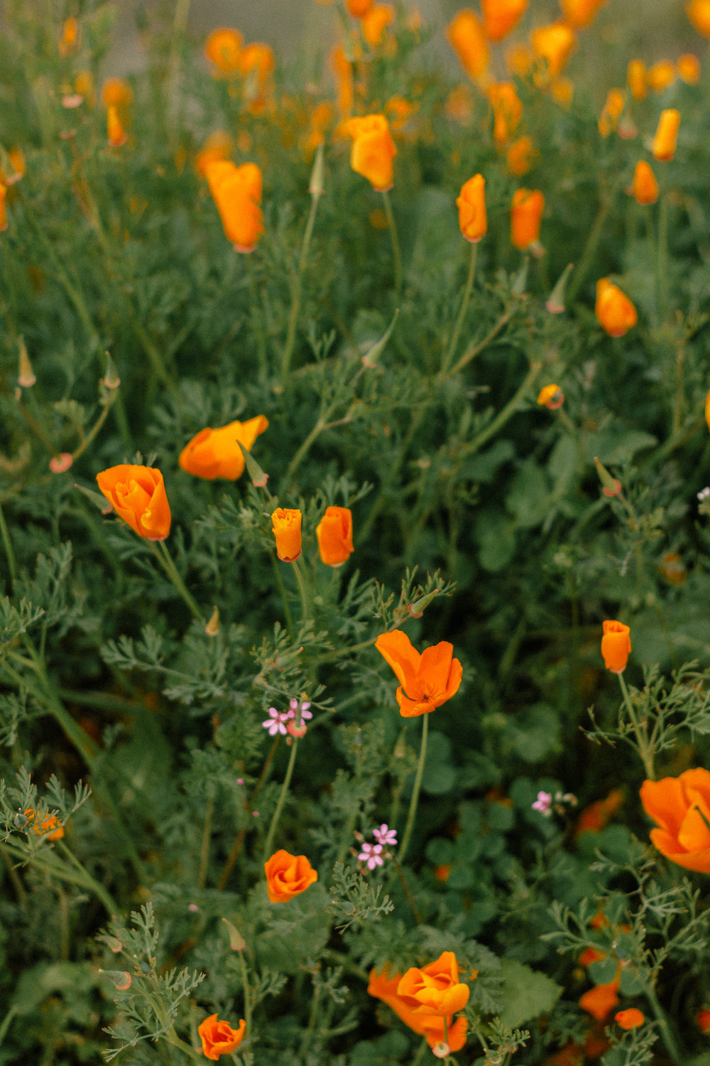 poppy fields california superbloom 7