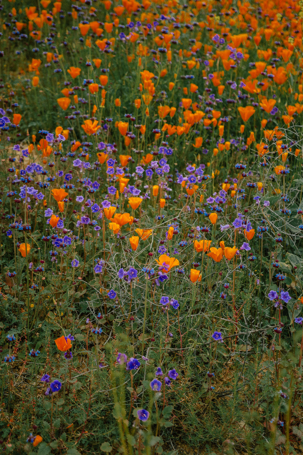 poppy fields california superbloom 20