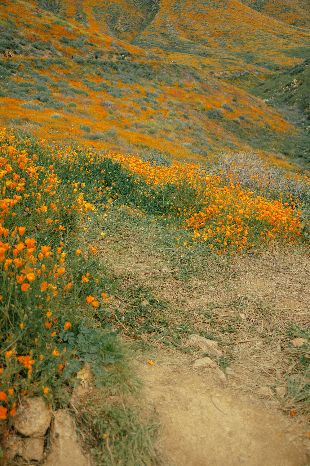 poppy fields california superbloom 22