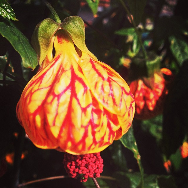The abutilon tiger eye tree up in front of the nursery is in full bloom again! Definitely a show stopper! #sanmateo #gardencenter #flowers