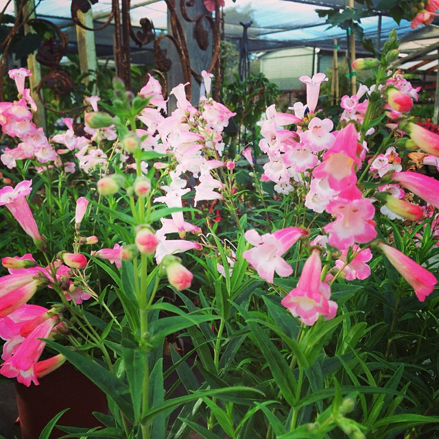 Opening everyone happy Sunday!! These little penstemon apple blossom were looking stunning! Couldn't snap the photo in time to get the hummingbird having breakfast! #sanmateo #gardencenter #flowers