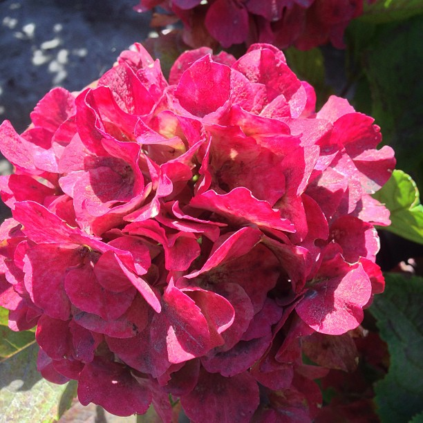 Morning everyone! Stumbled across this hydrangea in full bloom! The color is true with no filter!!! #gardencenter #sanmateo  #flowers