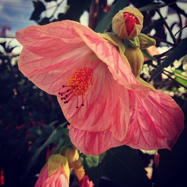Happy Sunday everyone! Sorry for the lack of updates we have been busy giving the nursery a new makeover! Updates to come! In the meantime this pink tutu abutilon was loaded in color and I could resist stopping to check it out. #sanmateo #gardencenter #flowers