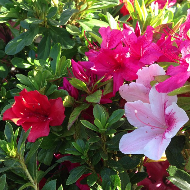 Our repeat blooming azaleas have opened up after this lovely Indian summer warmth! #sanmateo  #gardencenter #flowers