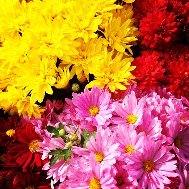 As summer comes to a close, autumn mums are a great transition plant for the cooler weather to come!!! #sanmateo #gardencenter #flowers