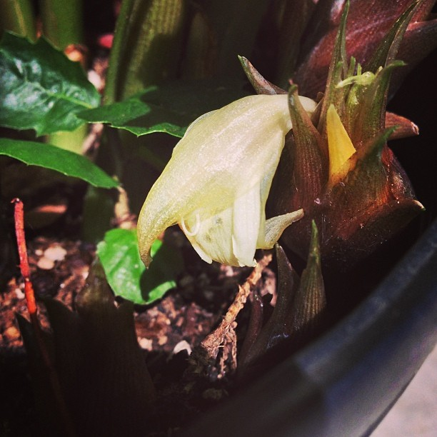 Hey there foodies! I noticed this little flower bud in the nursery is a japanese ginger called myoga! This delicacy can be found in japanese speciality food stores this time of year and really tasty when paired with fish and shiso!  #sanmateo #gardencenter #edibles #veggies