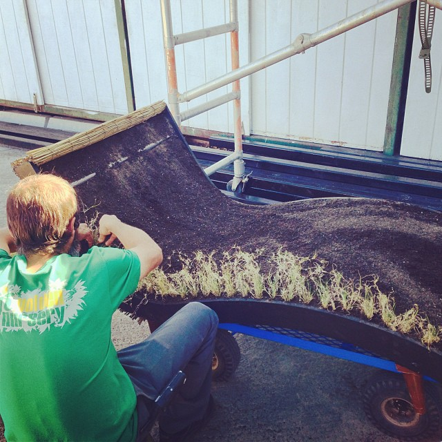 "Brett's working on an something giving new meaning to ""lawn furniture"" with our drought tolerant buffalo grass. We will show you the finished product later! #sanmateo #gardencenter"