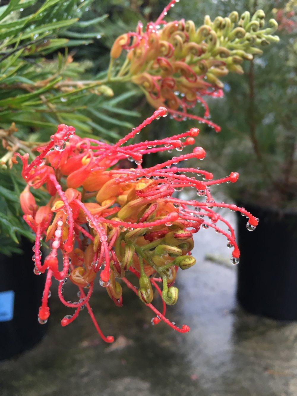 Grevillea 'mason's hybrid'