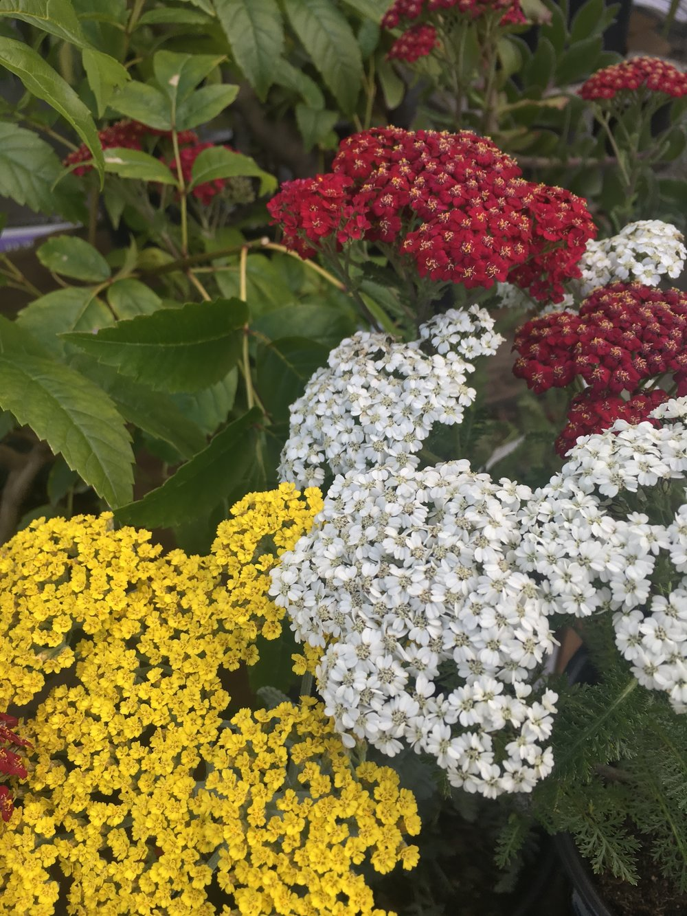 Achillea 'new vintage series' yellow, white and red!