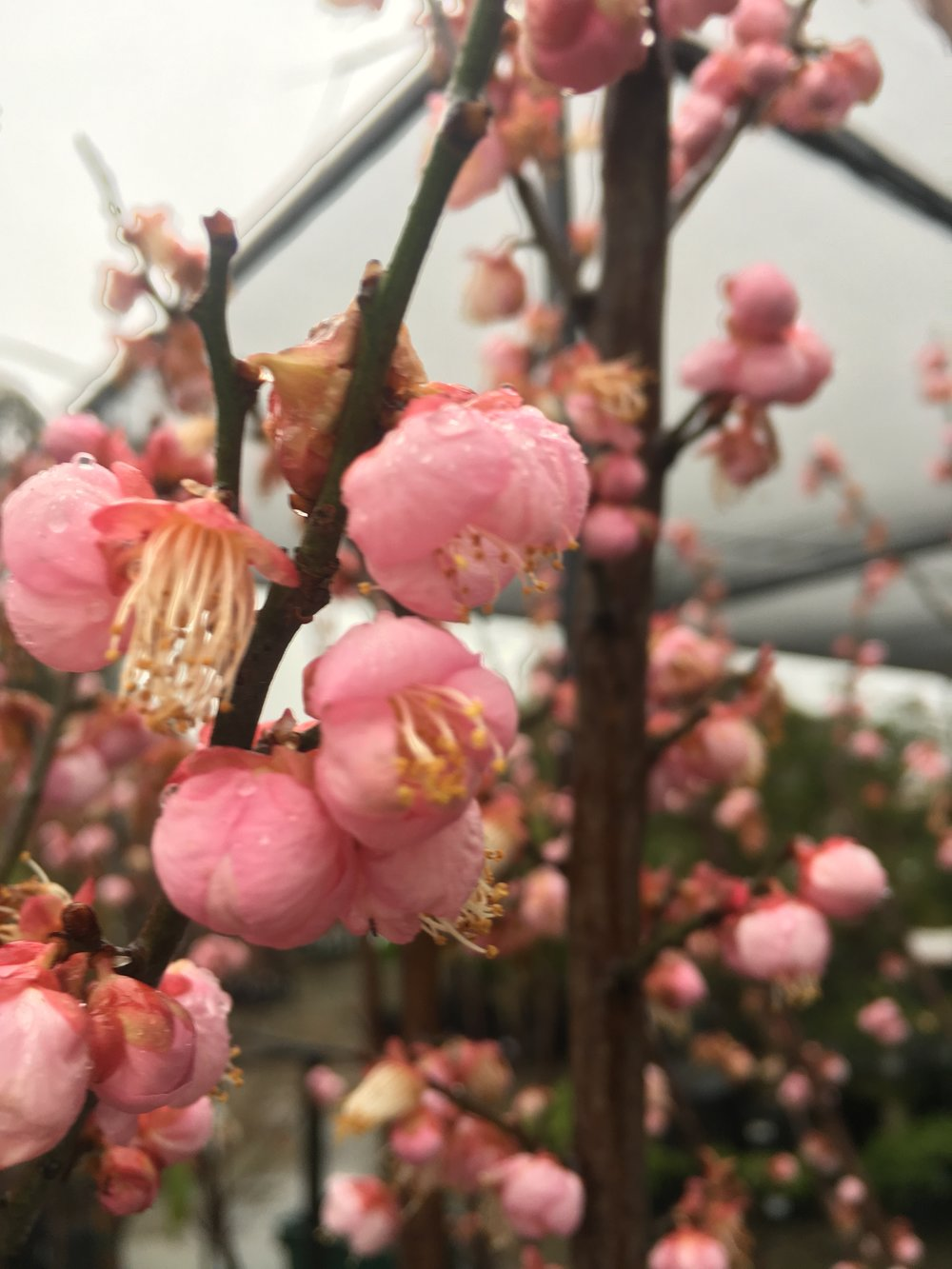 Prunus mume 'Morkel'
