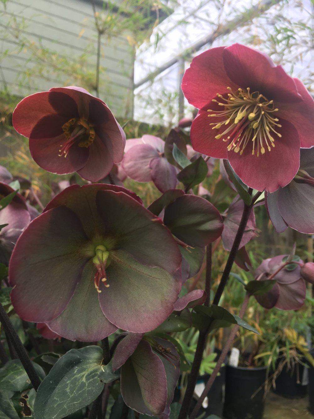 Helleborus 'penny's pink'