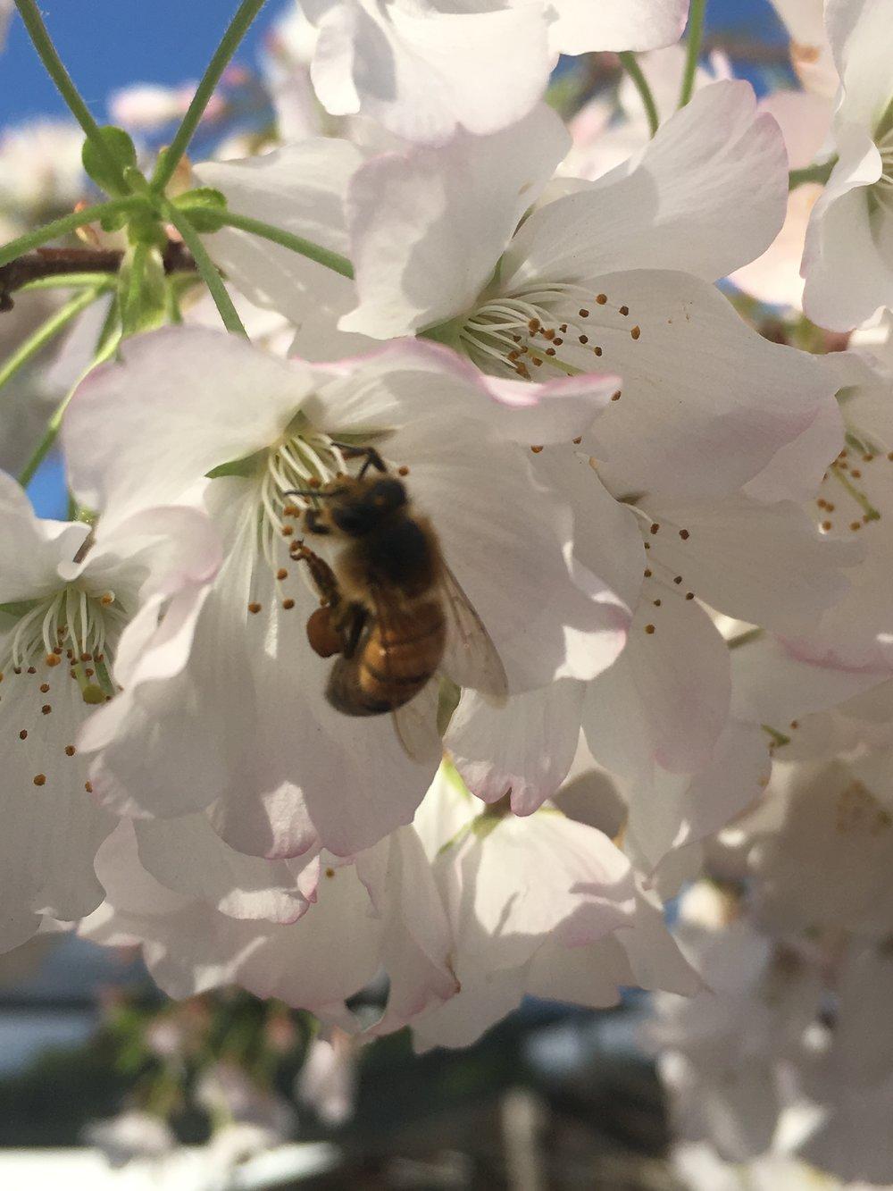 Prunus x yedoensis 'Akebono'