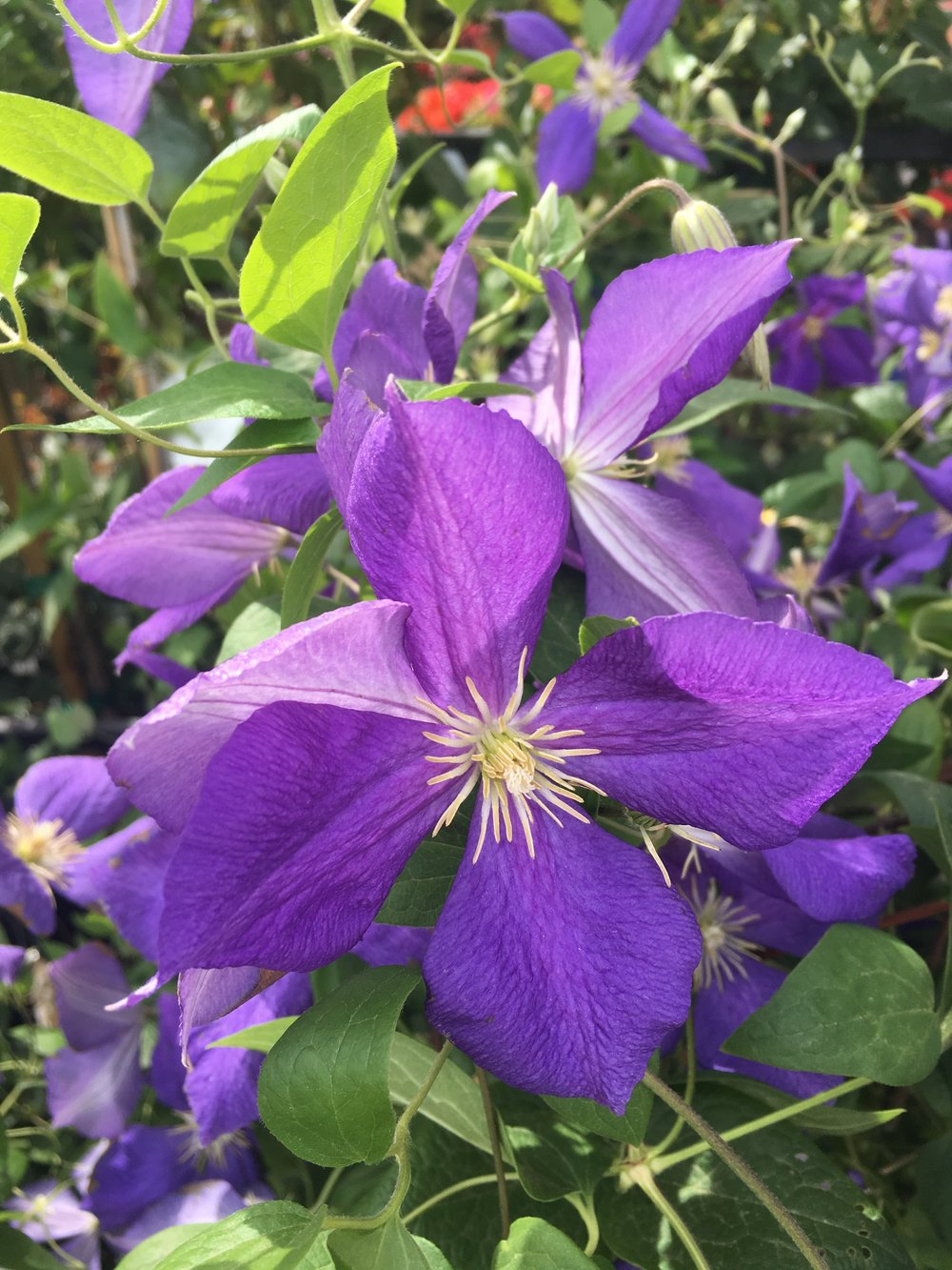 clematis are a fun summer blooming climber!!!