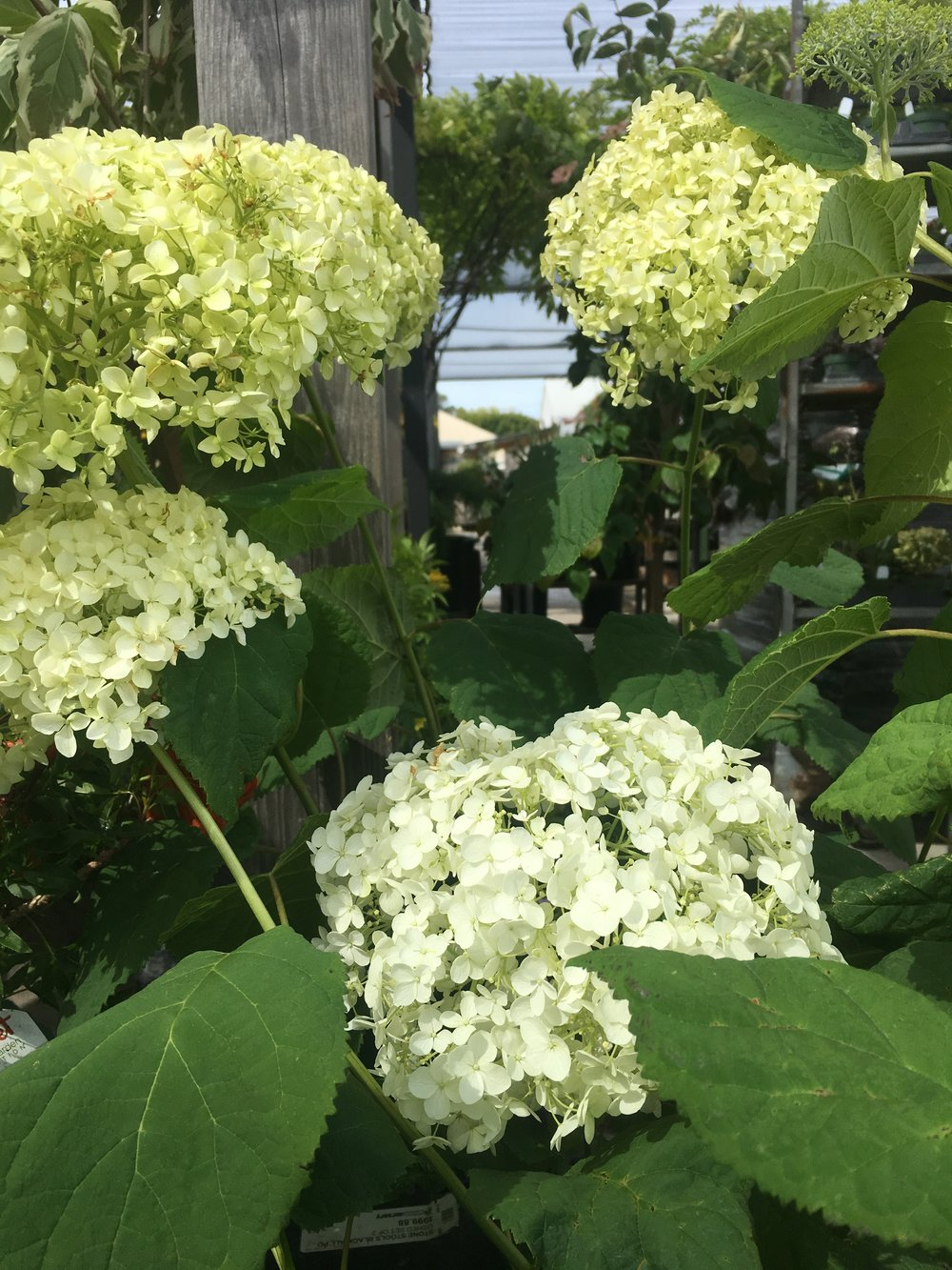 came across some annabell hydrangea in full bloom!