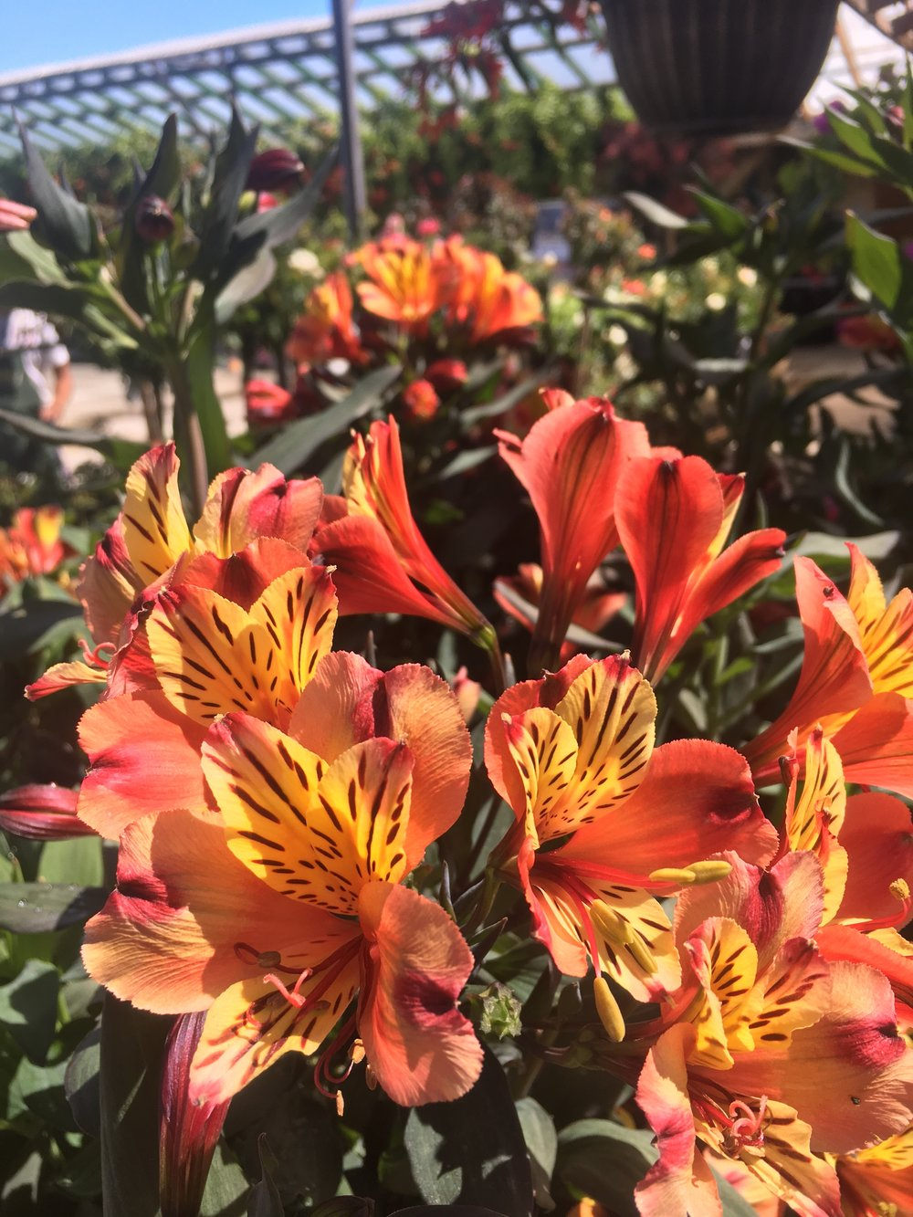 Alstroemeria 'Indian summer'  is a rare black foliage Peruvian lily!!!